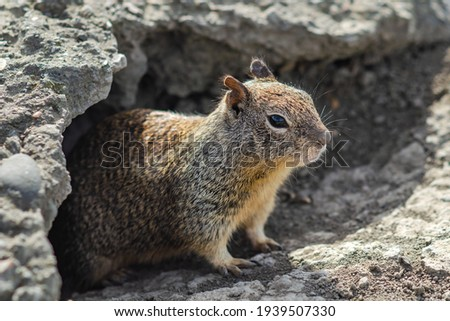 California ground squirrel (Spermophilus beecheyi) in Central Park, Fremont Royalty-Free Stock Photo #1939507330