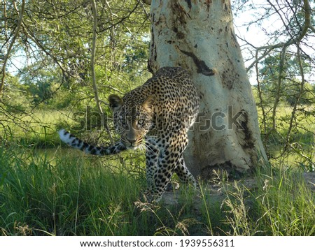 Leopard poses face to face with me