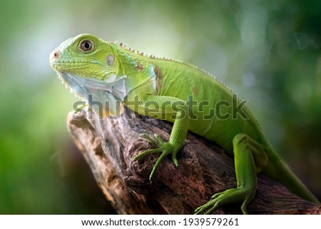 Beautiful Green Iguana with natural background on the park Royalty-Free Stock Photo #1939579261