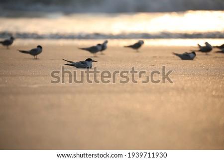 India, 4 November, 2021 : Flock of terns, Flock of birds, Tern, Terns, Seabirds, Seabird, water bird, Skimmers. Royalty-Free Stock Photo #1939711930