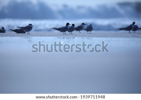India, 4 November, 2021 : Flock of terns, Flock of birds, Tern, Terns, Seabirds, Seabird, water bird, Skimmers. Royalty-Free Stock Photo #1939711948