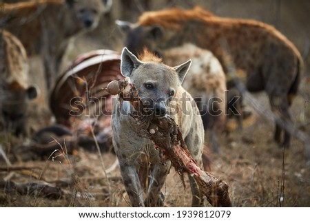 Hyenas eating a carcass in Kruger