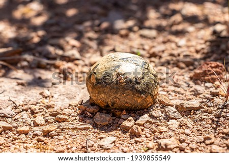 Lycoperdon umbrinum, commonly known as the umber-brown puffball, is a type of Puffball mushroom in the genus Lycoperdon. Picture of mushroom, Calvatia is a genus of puffball mushrooms