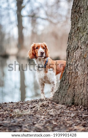 Healthy happy dog in the woods. Purebred welsh springer spaniel pedigreed looking adorable. Royalty-Free Stock Photo #1939901428