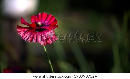 Delicate red hue of poppy.Chic bokeh.Poppy flowers are attractive and unique.Poppy, dark background, glare of light, stylized picture.Bright red color poppy.