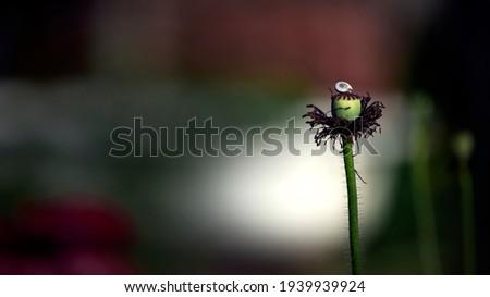 Snail on a green bud. Poppy bud.Poppy, dark background, glare of light, stylized picture.