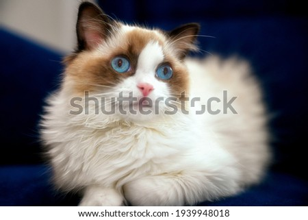 A beautiful Ragdoll cat in the show breeding type Royalty-Free Stock Photo #1939948018