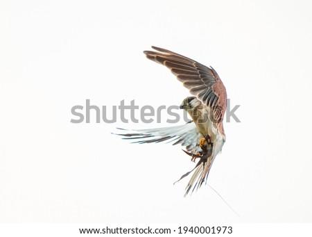 Portrait of a Kestrel in flight