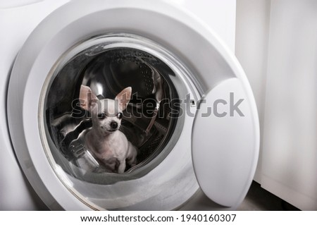A white Chihuahua dog sits in the washing machine and looks away from the closed drum door. Horizontal format of the photo.