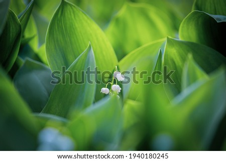 The green glade of lily of the valley flowers in the spring forest. White may-lily flower on clearing in the woods among the green leaves.