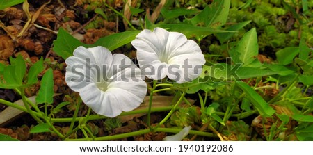 This white kale flower is a picture of water spinach flowers taken in a swamp in the city of Barabai, South Kalimantan, Indonesia.