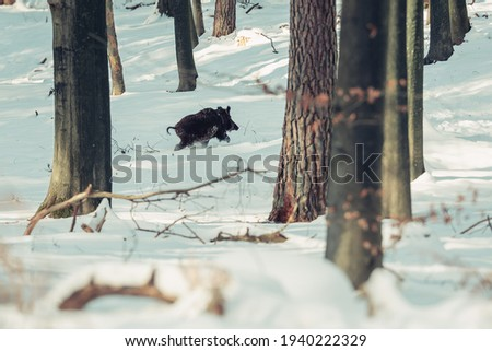 Wild boar running through snowy forest. Royalty-Free Stock Photo #1940222329