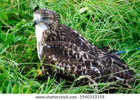 Portrait picture of a hawk in a grass in Scotland