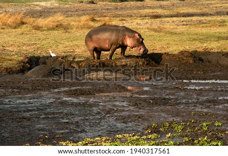 Hippos that remain at the Ikuu Hippo Pools in the wet season are always non-territorial bulls that live in close contact without much of the usual aggression between dominant bulls Royalty-Free Stock Photo #1940317561