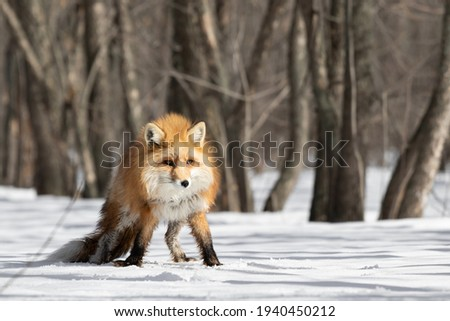 Red fox in the winter forest is menacingly standing wide apart paws and preparing to run. An animal with a purposeful look. Predator with a formidable look. High quality photo Royalty-Free Stock Photo #1940450212