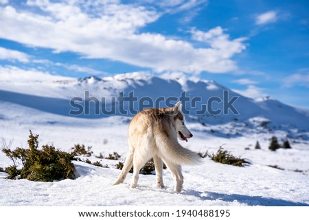 Brown Husky picture from the back with beautiful mountains in the background