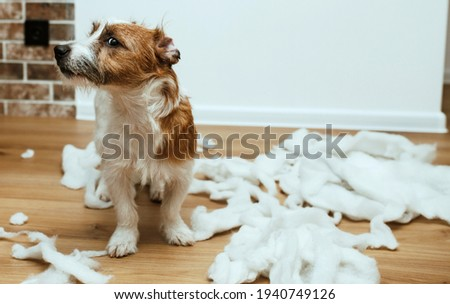The guilty dog destroyed the pillow at home. Jack Russell Terrier sits among the remains of a torn pillow. OOPS Royalty-Free Stock Photo #1940749126