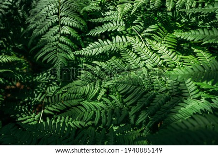 Summer green texture hundreds of ferns. Green fern tree growing in summer. Fern with green leaves on natural background. Natural floral fern background on a sunny day Royalty-Free Stock Photo #1940885149