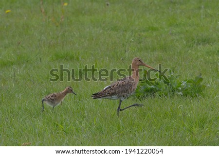 Youngster of Black-tailed Godwit or Limosa limosa is hunting for small insects and following mother in dutch green grassland with flowers of Taraxacum and large leaves of Rumex Royalty-Free Stock Photo #1941220054