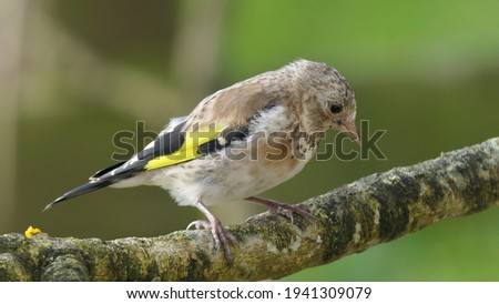 Goldfinch Juvenile on a branch in a wood Royalty-Free Stock Photo #1941309079
