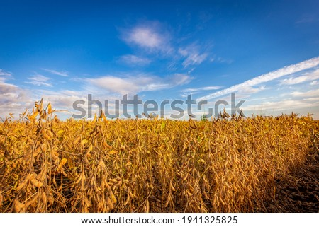 Soybean pods on the plantation at sunset. Agricultural photography.