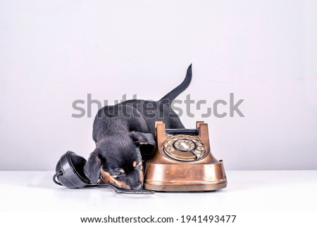 Jack Russell puppy dog is sniffing an old copper and Bakelite telephone. Telephone receiver is next to the telephone. With old dial and retro classic telephone head. With a retro vintage instagram Royalty-Free Stock Photo #1941493477
