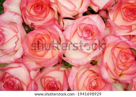 Close up A huge bouquet of white and pink roses. Natural Pink roses background. Happy Birthday, Happy Mother's Day, Wedding Day, Valentine's Day, International Women Day greeting card, poster