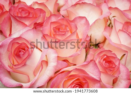 Closeup A huge bouquet of white and pastel pink roses. Natural Pink roses background. Happy Birthday, Happy Mother's Day, Wedding Day, Valentine's Day, International Women Day greeting card, poster.