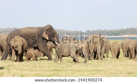 Sri Lankan Elephants and tuskers wandering around udawalawe national park with child elephants  Royalty-Free Stock Photo #1941900274