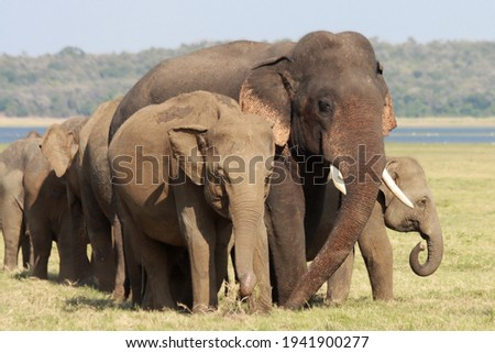 Sri Lankan Elephants and tuskers wandering around udawalawe national park with child elephants  Royalty-Free Stock Photo #1941900277