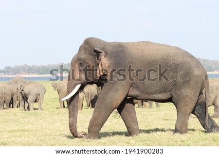 Sri Lankan Elephants and tuskers wandering around udawalawe national park with child elephants  Royalty-Free Stock Photo #1941900283