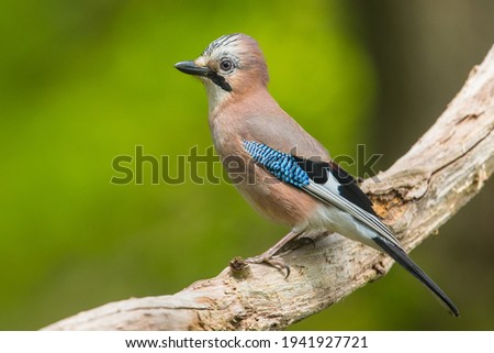 Full picture and close image of Garrulus glandarius adult or Jay sitting on a dead branch of wood in a garden with the crest slightly up and blue feathers on wing in centre of picture