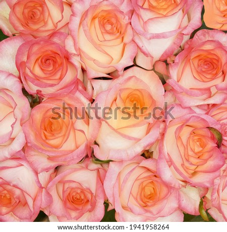 A huge bouquet of pastel pink and yellow roses. Natural Pink roses background. Happy Birthday, Happy Mother's Day, Wedding Day, Valentine's Day, International Women Day greeting card, poster.