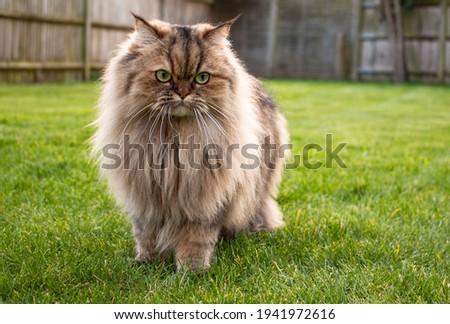 Persian golden chinchilla cat in a grassy garden
