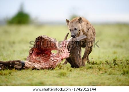 Spotted hyena with wildebeest kill, Masai Mara, Africa