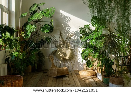 Urban jungle, love for plants concept. Interior of cozy home garden with fresh green monstera houseplant, wicker chair, wooden floor. Sunlight and shadows. Royalty-Free Stock Photo #1942121851