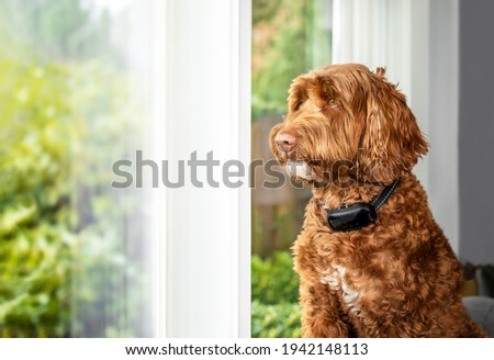 Labradoodle dog with bark collar active. Cute large female adult dog sitting alone by the window while wearing corrective remote training collar to reduce barking at outside action. Selective focus. Royalty-Free Stock Photo #1942148113