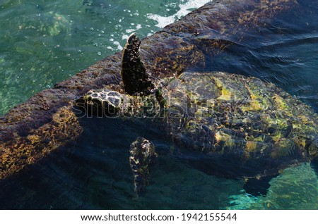 Sea turtles are chordate animals belonging to the reptile class order of turtles, superfamily Chelonioidea in Eilat in Israel Royalty-Free Stock Photo #1942155544