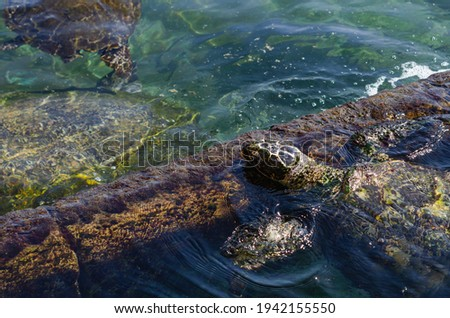 Sea turtles are chordate animals belonging to the reptile class order of turtles, superfamily Chelonioidea in Eilat in Israel Royalty-Free Stock Photo #1942155550