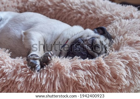 Cute pug dog sleeps deeply on his fluffy bed Royalty-Free Stock Photo #1942400923