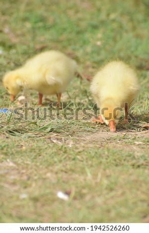 Duck chicks picture. Close up picture.