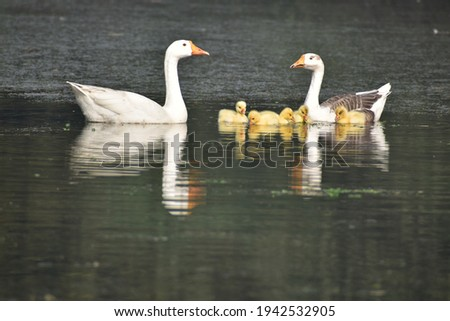 Duck family with chicks in pond picture.