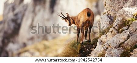 Wild chamois in Abruzzo, Apennines, Italy Royalty-Free Stock Photo #1942542754
