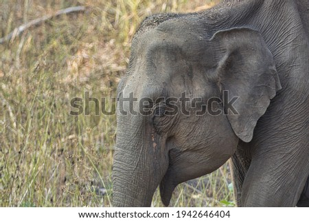 Asiatic tusker or elephant at Kabini Royalty-Free Stock Photo #1942646404