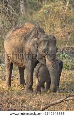 Asiatic Tusker and Baby Elephant Royalty-Free Stock Photo #1942646638