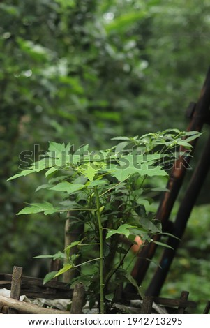 Papaya Tree Stock Photo HD Leaves Outdoor Closeup Macro Photo