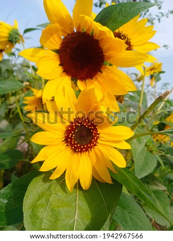 Bright yellow sunflowers in a garden of rural area