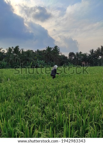 I took this photo while walking with my friends in the rice field embankment, it is very nice to be in the village with cool air and beautiful scenery Royalty-Free Stock Photo #1942983343
