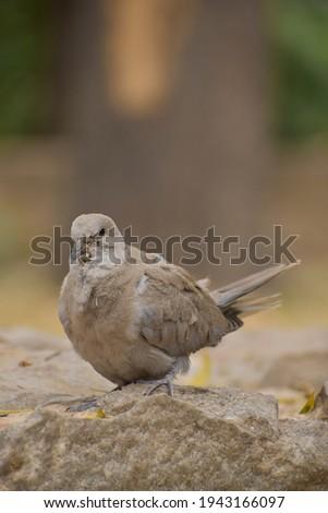 Ill dove bird picture. Close up picture.