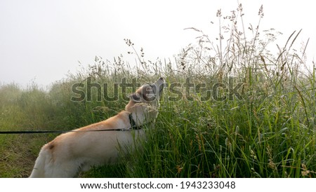 Brown and white husky dog walking in the morning countryside field in fog